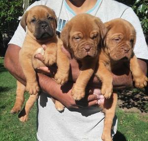 Excelentes cachorros Dogo de Burdeos