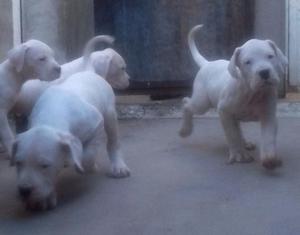 Cachorros Dogo Argentino Puros, 45 Dias, vacunados y