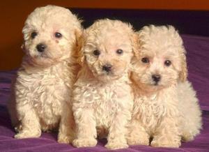 VENDO URGENTE Cachorros Caniche Toy