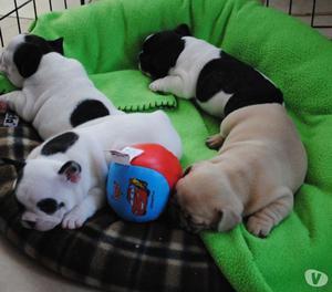 Bulldog Francés desparasitados cachorros