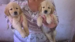 Cachorros Golden Retriever(vacunados)