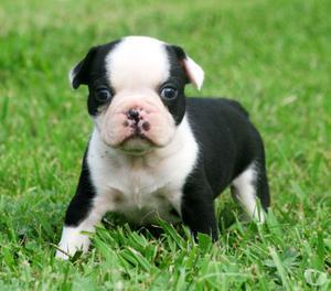 Cachorros de pura raza Bulldog Francés!! oferta Navidad