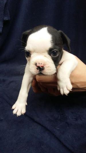 Cachorros Bulldog Francés Con papeles FCA