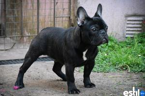 Bulldog frances macho negro