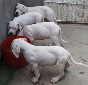 Cachorros Dogo Argentino C/ Pedigree Fca + Libreta Sanitaria