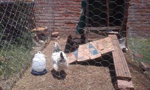Vendo gallinas pollitos bbs y de dos meses y medio