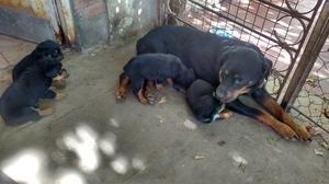 Cachorros Rottweiler se entregan a los 45 dias