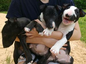 Cachorros bull terrier con fca.