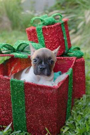 Fiestas!! Cachorro Bulldog Frances Macho. Fca. Entrega Ya