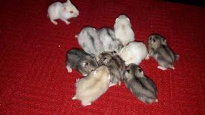 Hamster Rusos O Topitos Rusos Varios Colores