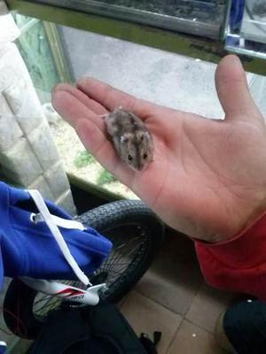 Hamster Rusos Y Sirios En Flores !!