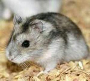 Hamsters Rusos En Flores. Cap. Fed