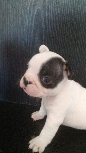 Hermoso Cachorro Bulldog Francés Macho Con Fca