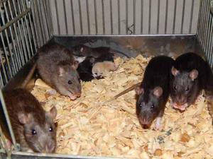 Ratas Y Ratones Mascotas Alimento Americanas O Laboratorio