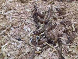 Zophobas X100 Alimento Vivo Erizos Reptiles Aves En La Plata