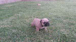 Bulldog Frances con Fca Machos en Reyes