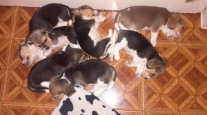 Cachorros beagle disponibles 5 machos y una hembra