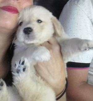 golden retriever listo para retirar