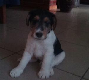 VENDO CACHORRO FOX TERRIER WIRE