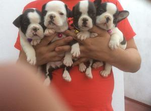 cachorros bulldog frances hembritas y machitos disponibles