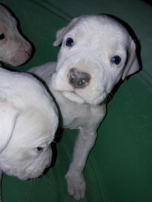 Vendo Cachorros Dogo Argentino