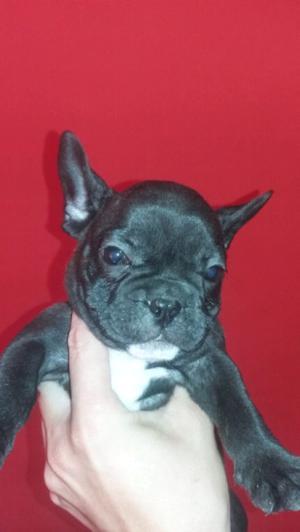 Hermoso cachorro bulldog francés machito !!!