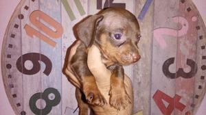 Vendo cachorros salchicha mini machos chocolate y fuego