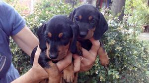 Vendo cachorros salchicha mini machos negro y fuego