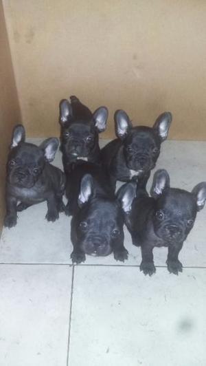 Bulldog frances con fca Criadero Petits Grandiers