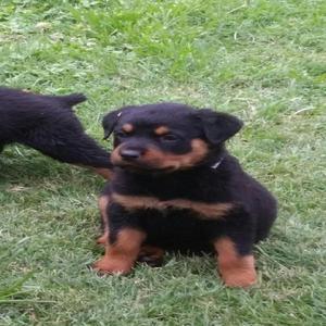 Vendo Perros Rotwailer 50 Dias Hem.y Mac