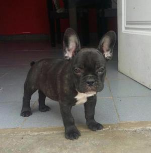 Cachorro bulldog francés macho !!!!!!