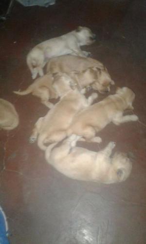 vendo cachorros golden retirever hermosos 40 días