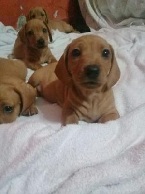 Venta de cachorros Dachshund (Salchichas)