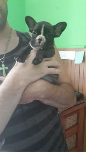 Cachorra de bulldog frances,con papeles de la FCA y libreta