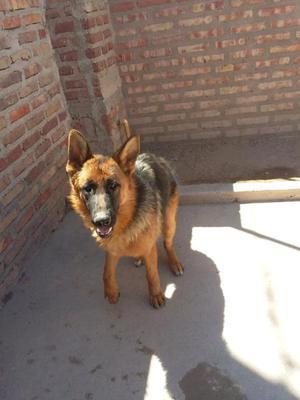 vendo URGENTE cachorro pastor aleman