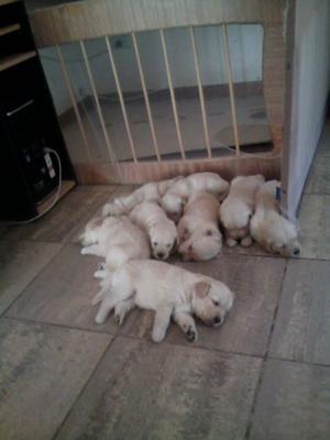 Vendo adorables cachorros de Golden Retriever