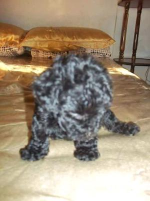 Caniche hembrita negra aZabache
