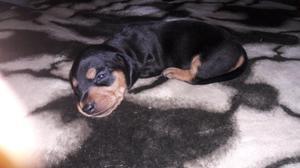Cachorros dachshund nacidos el día