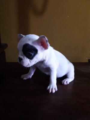 Bulldog frances macho y hembras