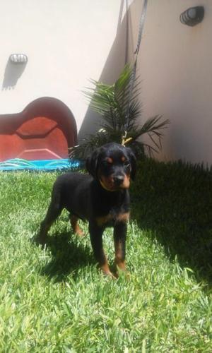 Hermosa Cachorra Rottweiler con FCA.