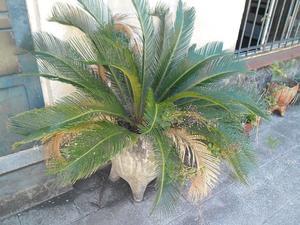 Vendo palmeras cyca, se venden todas juntas !!! (NO