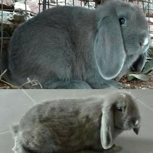 Coneja orejas caídas