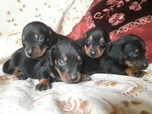 cachorros de salchichas nacidos