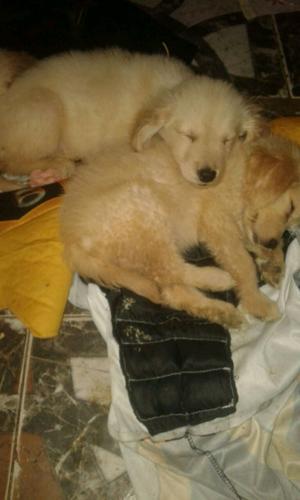 Hermosos cachorros de 2 GOLDEN RETRIEVER