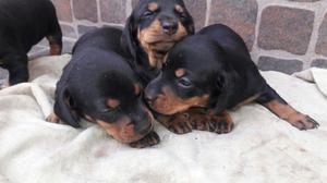 Salchicha Mini Cachorras