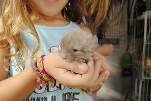 Chinchillas bebes para mascotas o reproduccion