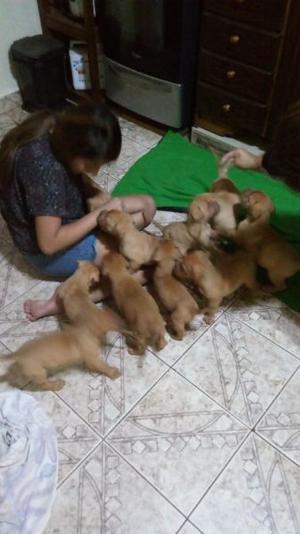 Dogos de burdeos cachorros