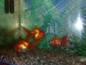 Peces Goldfish Oranda Reproductores