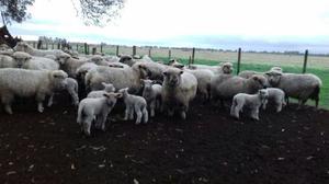 Lote de 200 ovejas texel y cara negra