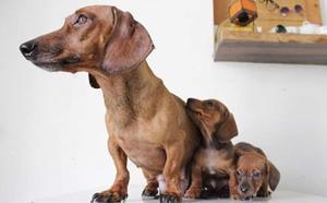 Cachorros Salchichas Mini Mini De Verdad